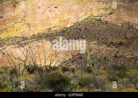 Saguaro cactus with brittlebrush wildflowers and ocotillo below Picketpost Mountain. Tonto National Forest, Arizona - Stock Photo