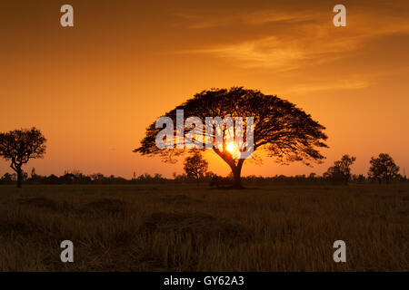 Sunset over rice field,countryside in Thailand ,Asia - Stock Photo