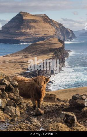 Highland cow in Koltur island. Faroe islands - Stock Photo