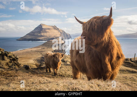Highland cows in Koltur island. Faroe islands - Stock Photo