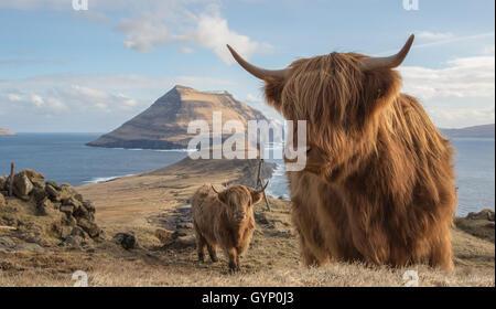 Highland cows in the island of Koltur. Faroe Islands - Stock Photo