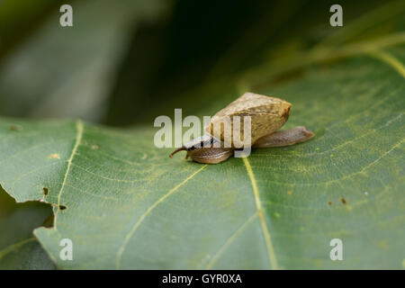 snail in the garden on green leaf, Closeup, - Stock Photo
