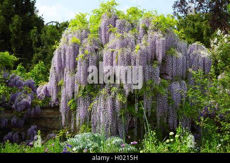 strauch japanischer blauregen wisteria floribunda natur botanik stock photo royalty free. Black Bedroom Furniture Sets. Home Design Ideas