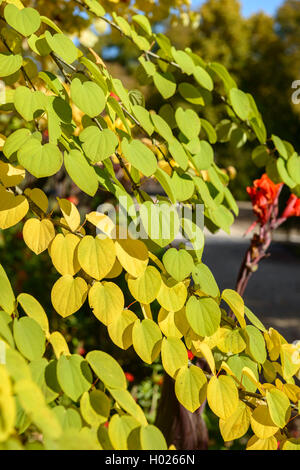 cercidiphyllum japonicum katsurabaum katsura stock photo. Black Bedroom Furniture Sets. Home Design Ideas