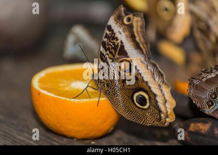 Helena Morpho (Morpho helenor carillesis) to orange - Stockfoto