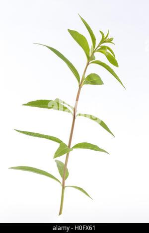 Verbene pflanze