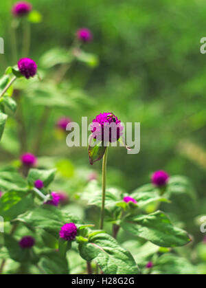a fly on Bachelor's button, Button agaga, Everlasting, Globe amaranth, Pearly Everlasting, or Gomphrena globosa - Stock Photo