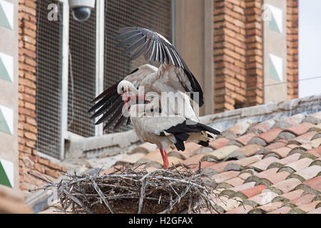 White Stork Ciconia ciconia pair maing on  nest on cathedral Alfaro Spain - Stock Photo