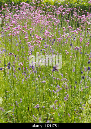 flower of a ball thistle echinops ritro stock photo. Black Bedroom Furniture Sets. Home Design Ideas