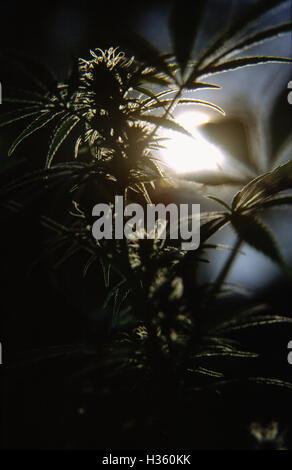 Marijuana / cannabis plant. - Stock Photo