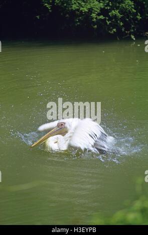 Great white pelican (Pelecanus onocrotalus) - Stockfoto