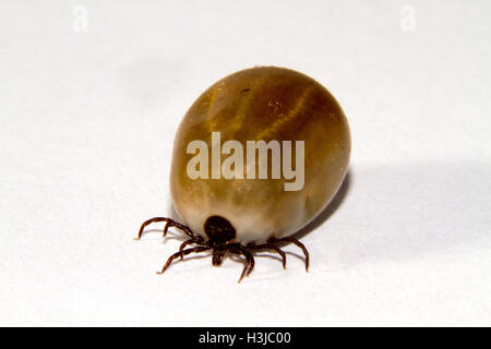 Ixodes ricinus, the castor bean tick, engorged with a blood meal - Stock Photo