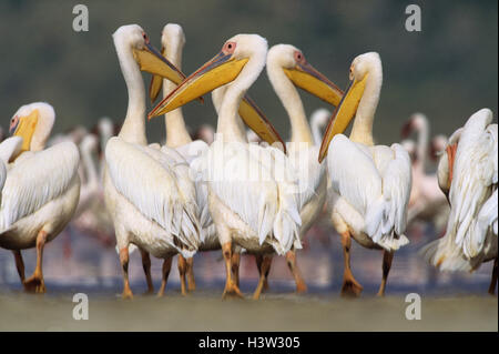 Great white pelicans (Pelecanus onocrotalus) - Stockfoto
