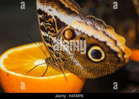 Helena Morpho (Morpho helenor carillesis) orange - Stockfoto