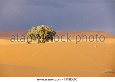 Single lonely tree in the sand sea of the Erg Chebbi in front of dramatical dark sky, Morocco, North Africa, Merzouga, - Stock Photo