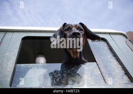 Dog, Polish Hound, looking out from a sport utility vehicle window - Stock Photo
