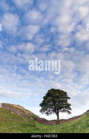Sycamore Gap on Hadrian's Wall on a late Summer's day with little fluffy clouds and a blue sky, Robin Hood's tree - Stock Photo