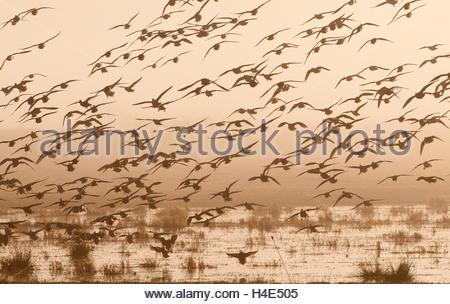 A flock of ducks in flight. - Stock Photo