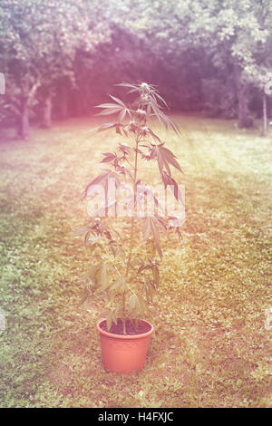 Cannabis female plant in flowerpot outdoors in the garden, indica dominant hybrid in flowering stage. - Stock Photo