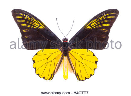 Troides, amphyrysus. Beautiful colorful butterfly. Moth isolated on white. - Stock Photo