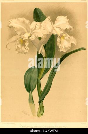 Gustav Leutzsch after Henry George Moon (German (?), active 19th century), Cattleya Mendelii Quorndon House Var. - Stock Photo