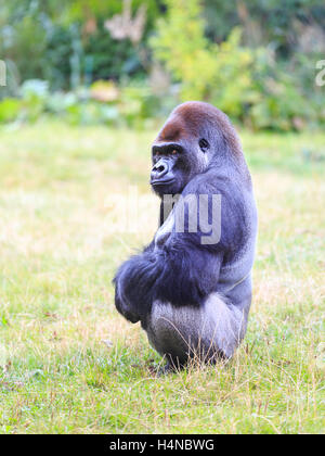 Kumbuka, 18-year old male Western Lowland Gorilla who attempted to escape at ZSL London Zoo in October 2016, England, - Stock Photo