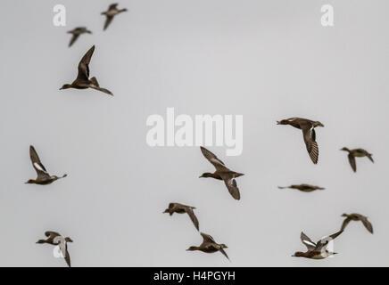 Flock of wigeon (anas penelope) at Loch Strathbeg, near Fraserburgh, Scotland, UK - Stock Photo