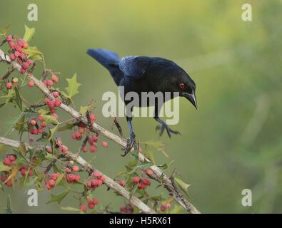 relationship between brown headed cowbird and songbird bioshock