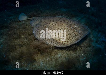 torpedo fish electric organ
