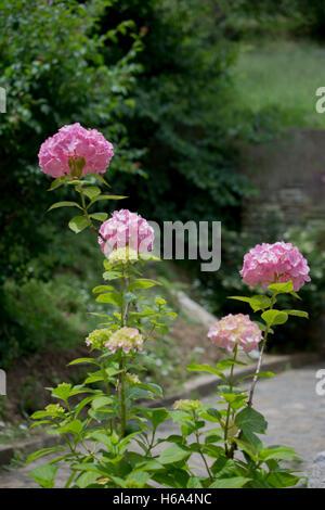 Beautiful hydrangea flowers in nature background - Stock Photo