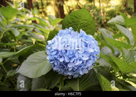 Beautiful fresh hydrangea flowers in nature background - Stock Photo