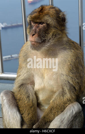 Gibraltar Barbary macaque on the Upper Rock, one of the only wild monkeys in Europe - Stock Photo