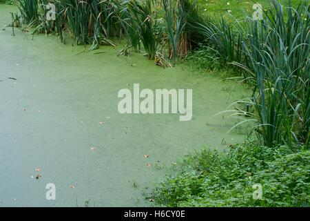 A garden pond covered with duckweed lemnoideae stock for Garden pool duckweed