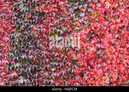 Parthenocissus tricuspidata. Boston Ivy leaves in Autumn. - Stockfoto