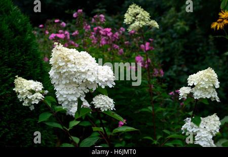hydrangea paniculata vanille fraise renhy stock photo royalty free image 26258965 alamy. Black Bedroom Furniture Sets. Home Design Ideas
