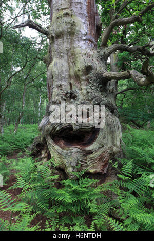 English Oak Tree with a face on it, (Quercus robur) in Sherwood Forest SSSI, Nottinghamshire, England, Britain, - Stock Photo