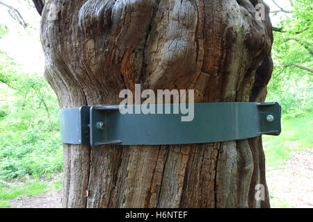 Metal bracing on an English Oak Tree, (Quercus robur), Sherwood Forest SSSI, Nottinghamshire, England, Britain, - Stock Photo