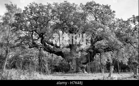 Major Oak,Robin Hoods Tree Sherwood Forest, Nottinghamshire - Stock Photo