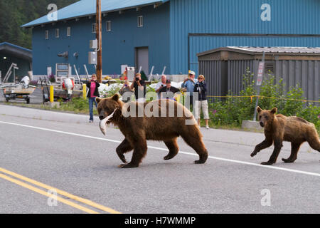 Brown bear sow crosses the Dayville Road with a cub as people watch, Valdez, Southcentral Alaska, USA - Stock Photo