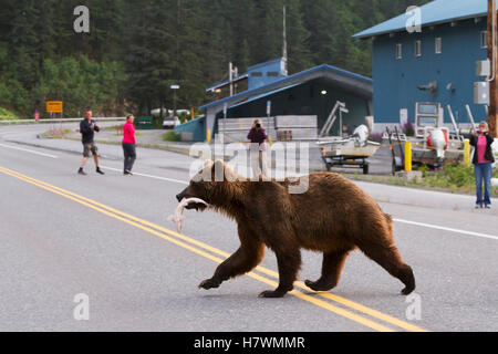 Brown bear sow crosses the Dayville Road as people watch, Valdez, Southcentral Alaska, USA - Stock Photo
