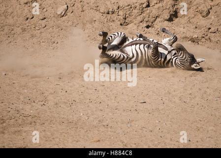 Zebra on the ground on its back. - Stock Photo