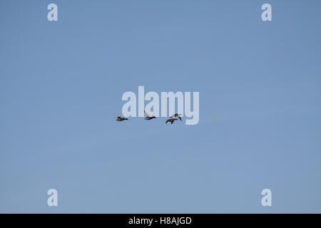 Mallard Wild Ducks in Flight (Anas platyrhynchos) - Stock Photo