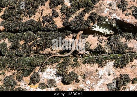 Lizard on a stone wall - Stock Photo