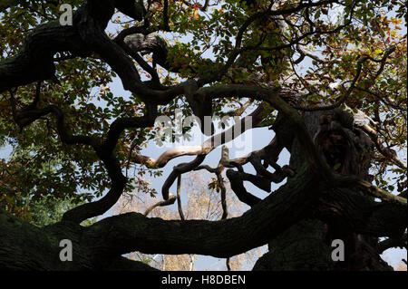 Silhouetted branches of an ancient oak in Sherwood Forest - Stock Photo
