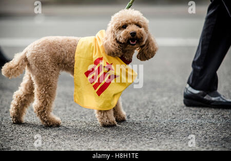 Barcelona, Spain. 13 November, 2016: A dog wearing Catalan colors is seen at the end of a manifestation in support - Stock Photo