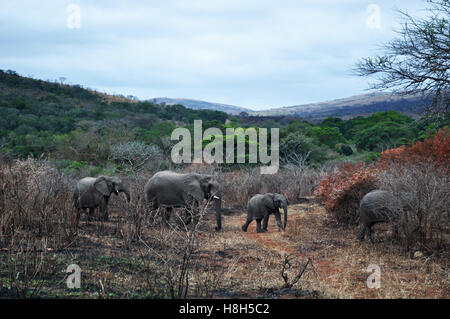 Safari in South Africa: elephants in Hluhluwe Imfolozi Game Reserve, the oldest nature reserve established in Africa, - Stock Photo