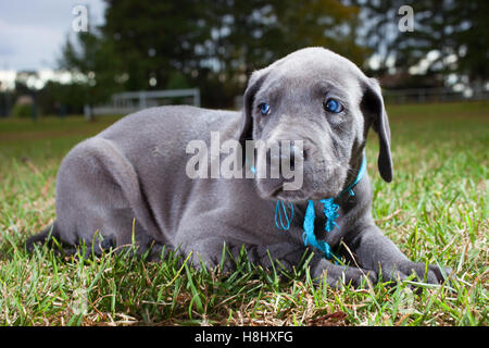 Great Dane puppy on the grass that has a blue collar and matching eyes - Stock Photo