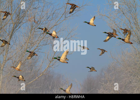 flock of mallard flying in winter morning fog - Stock Photo