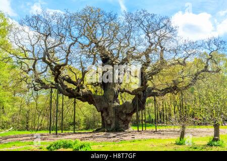 The Great Oak in Sherwood Forest home to Robin Hood and his merry men. - Stock Photo