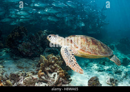 Green turtle [Chelonia mydas] swimming over coral reef with a school of Bigeye trevally [Caranx sexfasciatus].  - Stock Photo